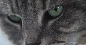 Brown Tabby Domowy kot W górę oczu, czas rzeczywisty zbiory