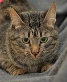 Brown tabby European Shorthair cat Royalty Free Stock Photos