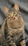 Brown tabby European Shorthair cat Royalty Free Stock Image