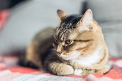 Brown tabby friendly cat lying on the couch stock images