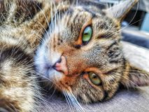 brown tabby royalty free stock photo