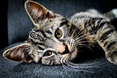 Brown Tabby Kitten Laying on Black Chair Royalty Free Stock Photography