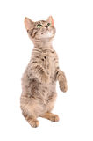 Brown tabby kitten standing on two feet Stock Photography