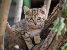 Brown Tabby Kitten on Tree Branch Royalty Free Stock Photo