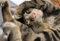 Brown Tabby kot spał podczas gdy próbował zakrywać cześć obrazy royalty free
