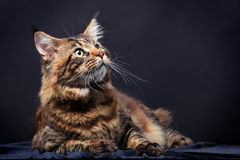 Brown Tabby Maine Coon on black. Brown Tabby Maine Coon in studio on black background Stock Image