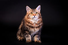 Brown Tabby Maine Coon on black Royalty Free Stock Photos