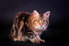 Brown Tabby Maine Coon on black Royalty Free Stock Image