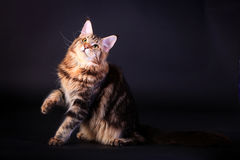 Brown Tabby Maine Coon on black. Brown Tabby Maine Coon in studio on black background royalty free stock photography