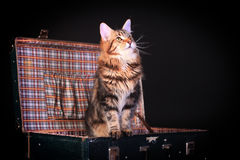 Brown Tabby Maine Coon on black Royalty Free Stock Photo