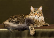 Brown tabby Maine Coon cat Stock Photos