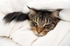 Brown Tabby Maine Coon Cat que oculta en edredón fotografía de archivo libre de regalías