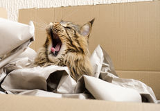 Brown Tabby Maine Coon Cat Yawning Imagenes de archivo