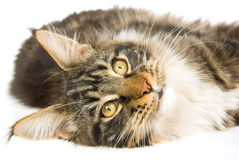 Brown tabby Maine Coon kitten on white background Stock Image