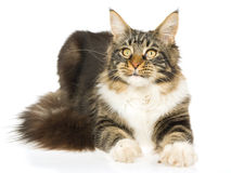 Brown tabby Maine Coon kitten on white background Royalty Free Stock Images