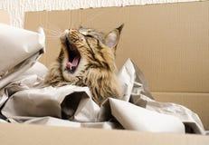Brown Tabby Maine Coon kota ziewanie obrazy stock