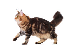 Brown Tabby Maine Coon over white Royalty Free Stock Photography