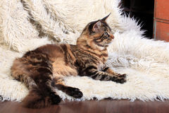 Brown Tabby Maine Coon Stock Images