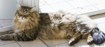 Tender male cat lying at the window, siberian purebred brown. Brown tabby male cat with long hair. Siberian kitten lying in the house. Hypoallergenic pet Stock Photos