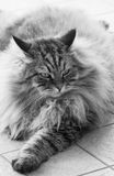 Brown tabby male cat of siberian breed lying outdoor Royalty Free Stock Photo