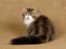 Brown tabby Persian kitten on burlap Stock Photos