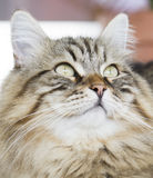 Brown tabby siberian cat foreground. Beautiful domestic brown cat of siberian breed Royalty Free Stock Photos