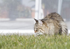 Brown tabby siberian cat on the grass green Royalty Free Stock Photo