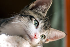 Brown Tabby with White Chin Hangs Head Over Edge. An 10-week-old female kitten with green eyes hangs her head over edge of her bed looking down to camera right Stock Image