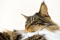 Brown tabby with white Maine Coon Cat sleeping Royalty Free Stock Images