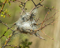 Brown-tail Moth Larvae. Caterpillar larvae and web nest of Brown-tail Moth Stock Images