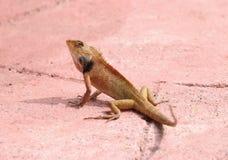 Brown tajlandzka jaszczurka Zdjęcia Stock