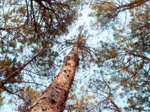 Brown Tall Trees Under Sunny Sky Stock Images