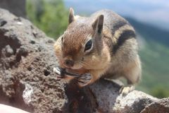 Ground squirrel native to the mountains stock photos