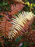 Brown and Tan Ferns Royalty Free Stock Images