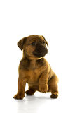 Brown, tan Jack Russel puppy isolated in white Stock Photo