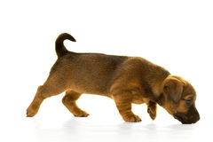 Brown, tan Jack Russel puppy isolated in white Stock Images