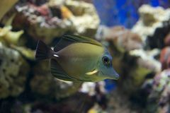Brown tang swimming down through coral reef Royalty Free Stock Photo