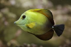 Brown tang Zebrasoma scopas. Also known as the brown surgeonfish stock images