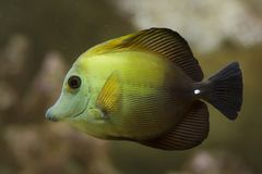 Brown tang Zebrasoma scopas. Also known as the brown surgeonfish royalty free stock photo