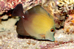 Brown tang (Zebrasoma scopas) marine fish Royalty Free Stock Photo
