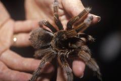 Brown tarantula, Sarasota, FL, ręki na nauki muzeum fotografia stock