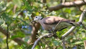 Brown-Taube auf dem Baum Lizenzfreies Stockbild