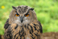 Brown (Tawny Owl) Stock Images