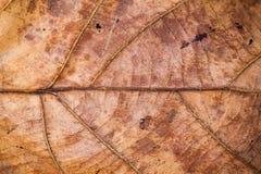 Brown teak leaf texture closeup Stock Images