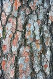 Brown texture of a dry pine bark on a tree Royalty Free Stock Photos