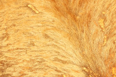 Brown textured cowhide Royalty Free Stock Photo