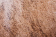 Brown textured cowhide Royalty Free Stock Image