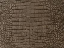 Brown textured crocodile skin Stock Image