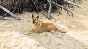 Brown Thai Dog Lying under The Shadow of Big Tree on The Sand Royalty Free Stock Images