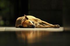 Brown Thai dog sleeps under sunlight Royalty Free Stock Photo